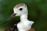 A BLACK WINGED STILT CHICK IN KOONTHAKULAM BIRD SANCTUARY, TAMILNADU, INDIA