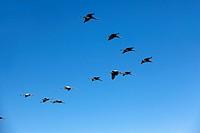 Spain , Aragon , Gallocanta lagoon , Crane  Grus grus  , Order : Gruiformes , family : Gruidae