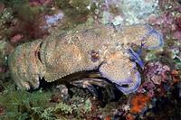 Locust lobster, Schillarides arctus, Mediterranean Sea