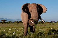 A solitary bull elephant feeding, and egrets, Amboseli National Park, Kenya, East Africa, Africa