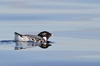 Ancient Murrelet Synthliboramphus antiquus swimming on the ocean near Victoria, British Columbia, Canada.