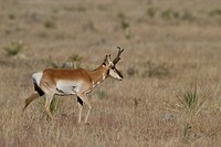 Pronghorn Antelope Antilocapra americana feeding in the grasslands near the Bosque del Apache wildlife refuge near Socorro, New Mexico, United States ...