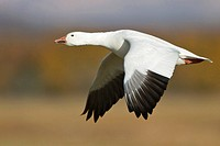 Snow Goose Chen caerulescens flying at the Bosque del Apache wildlife refuge near Socorro, New Mexico, United States of America.