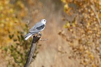 White_tailed Kite Elanus leucurus perched on a branch near the Bosque del Apache wildlife refuge near Socorro, New Mexico, United States of America.