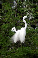 LITTLE EGRETS IN BHARATPUR BIRD SANCTUARY, RAJASTHAN,INDIA