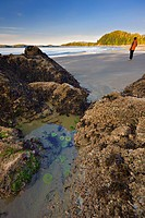 Sea Anemones in a tidal pool in a rocky outcrop and a women walking along Tonquin Beach in the background, Town of Tofino, West Vancouver Island, Brit...