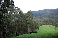 ELEPHANTS IN MUNNAR, KERALA, INDIA