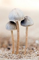 Mushrooms - Los Novios Ranch - near Cotulla, Texas USA