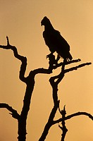 Silhouette of martial eagle Polemaetus bellicosus, Botswana, Africa