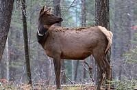 Wild mature cow elk Cervus elaphus standing wearing a radio collar, Alberta, Canada.
