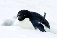 Adelie penguin Pygoscelis adeliae incubating, Antarctic Peninsula, Antarctica