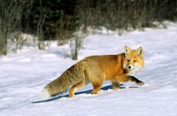 Adult red fox Vulpes vulpes hunting by the roadside, northern Saskatchewan, Canada