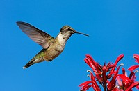 Ruby_throated Hummingbird