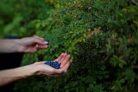 Picking berries while canoeing in Wabakimi Provinical Park, Ontario, Canada