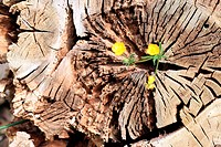 buttercup on the old stump of wood or buttercup buttercup, Botanical: Ranunculus arvensis fam: Ranunculaceae herbaceous plant, flower cup-shaped with ...