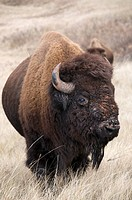 American bison bull Bison bison, Wind Cave National Park, South Dakota, United States of America.