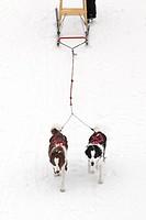 Dogs pulling a kick sled, Winnipeg, Manitoba, Canada.