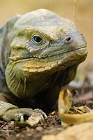 Rhinoceros iguana Cyclura cornuta close up, controlled conditions, United Kingdom, Europe