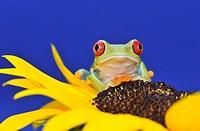 Frosch auf Sonnenblume