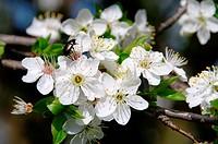 Pflaumenbaumbluete _ plum blossom 11
