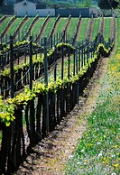 After a weeks of Spring warmth and sunshine, grape vines throughout the Herault of Southern France show new leaves