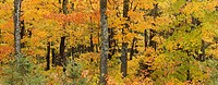 Sugar maple forest in autumn, near Highway 60 Algonquin Provincial Park, Ontario