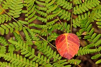 Autumn aspen leaf lying fallen on bracken fern fronds Greater Sudbury Ontario