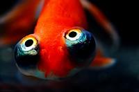 Bubble eye goldfish close-up