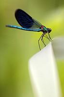 Calopteryx splendens - Dangerous bend