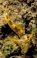 Yellow Black-faced Blenny (Tripterygion delaisi) male, Eastern Atlantic, Galicia, Spain