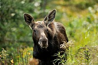 Moose Alces alces First year calf Algonquin Provincial park Ontario