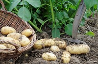 Home grown potatoes, variety, 'charlotte', second early type, waxy salad potato, freshly dug tubers on soil with garden fork and basket, UK, June