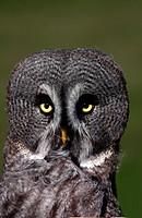 A Great Grey Owl portrait - Oasi di Sant´Alessio, Sant´Alessio, Pavia, Italy