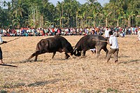 Spectators enjoy a buffalo fight, a traditional post harvest game, at Ahotguri about 90 kilometers from Guwahati It is believed that such buffalo figh...