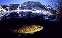 River trout (Salmo trutta fario), Lake Lago del Valle, Lagos de Somiedo, Asturias, Spain