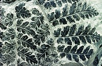 Fossilised fern of type Sphenopteris preserved in Carboniferous coal sample 300 million years old  Excellent example
