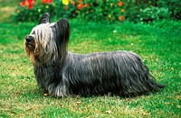 SKYE TERRIER
