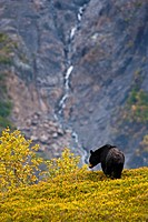 A black bear foraging for berries on a hillside near the Harding Icefield Trail near Exit Glacier, Kenai Fjords National Park, Seward, Southcentral Al...