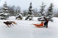 Musher races in the 2010 Exxon Open Sled Dog Race, Tozier Track Anchorage, Southcentral Alaska, Winter