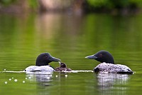 Close up view of two Common Loons feeding their chick on Beach Lake, Chugach State Park, Southcentral Alaska, Summer