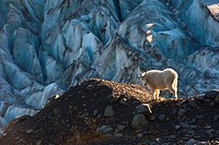 View of a mountain goat standing on a ridge near Harding Icefield Trail with Exit Glacier in the background, Kenai Fjords National Park near Seward, K...