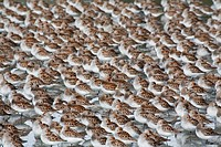 Large flock of Western Sandpipers on the mud flats of Hartney Bay during Spring migration, Copper River Delta,Southcentral Alaska