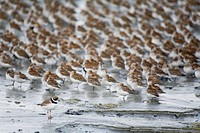 Large flock of Western Sandpipers, Dunlins, and a single Semipalmated Plover roosting on the mud flats of Hartney Bay during Spring migration, Copper ...