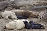 Northern Elephant Seal with Baby