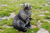 Antarctic fur seal Arctocephalus gazella Fortuna Bay, South Georgia Antarctica