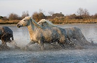 CAMARGUE HORSE, HERD GALLOPING IN SWAMP, SAINTES MARIE DE LA MER IN THE SOUTH OF FRANCE