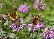 fritillary butterfly feeding on horesemint blossom as a second butterfly approaches in flight, new mexico, united states of america