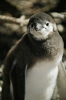 A Magellanic Penguin chick, Spheniscus magellanicus, near its burrow.