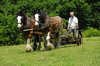 Plough, with, Shire, Horses, Killarney, national, park, County, Kerry, Ireland,