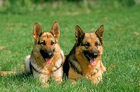 GERMAN SHEPHERD DOG, ADULTS LAYING DOWN ON GRASS